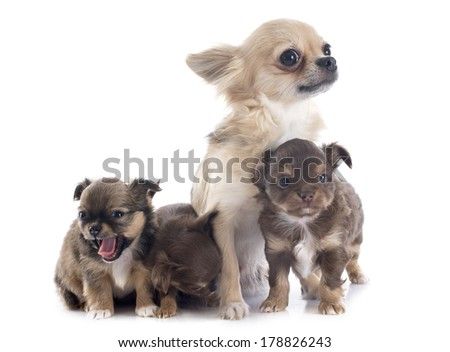 puppies and adult chihuahua in front of white background