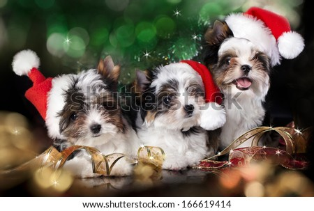 puppies beaver york wearing a santa hat - stock photo