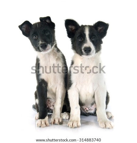 puppies border collier in front of white background