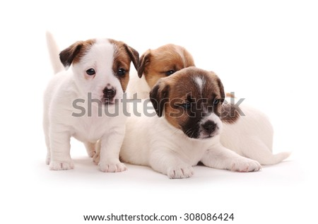 Puppies breed Jack Russell Terrier, 1 months old. Isolated on white.