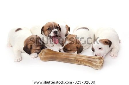 Puppies breed Jack Russell Terrier with a huge bone, 1 months old. Isolated on white. - stock photo