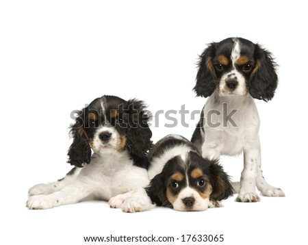 puppies Cavalier King Charles Spaniel (3 months) in front of a white background - stock photo