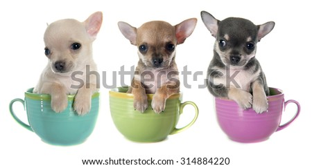 puppies chihuahua in bowl  in front of white background - stock photo