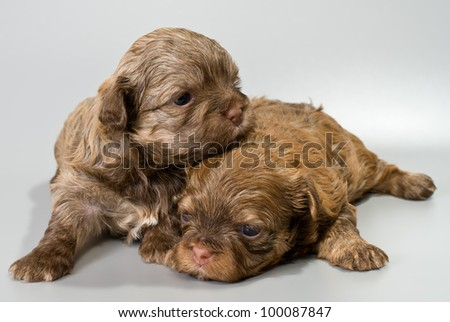 Puppies colored lapdog