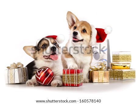 puppies  corgi wearing a Santa hat - stock photo