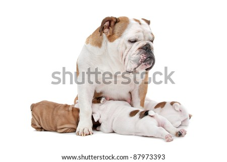 puppies drinking milk from mother dog in front of a white background