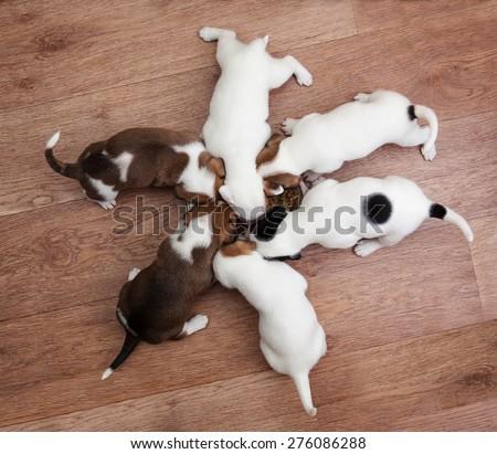 puppies eat - stock photo