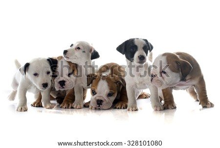 puppies english bulldog and jack russel terrier in front of white background - stock photo