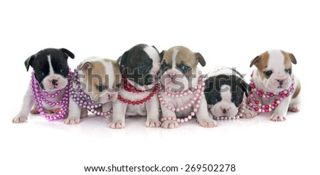 puppies french bulldog in front of white background - stock photo
