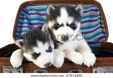 Puppies huskies in a brown suitcase