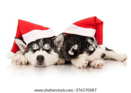 Puppies husky in santa hat