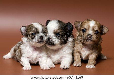 Puppies in studio - stock photo