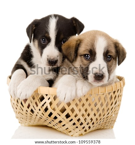 puppies in their basket. isolated over a white background - stock photo