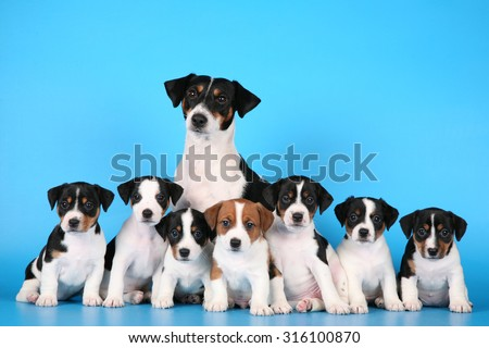 Puppies Jack Russell mom - stock photo