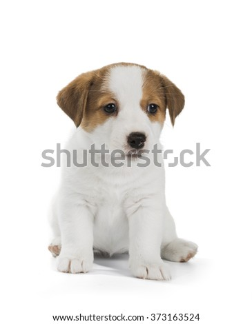 puppies Jack Russell Terrier