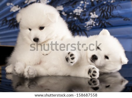 puppies Japanese Spitz - stock photo