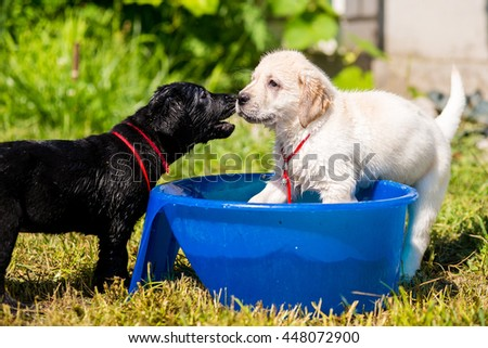 Puppies Labrador swimming in a bowl of water. Adorable Cute Young Puppies Outside in the Yard Taking a Bath - stock photo