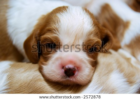 Puppies of cavalier king charles spaniel lying on the ground