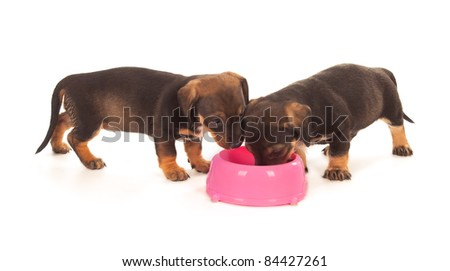 Puppies of dachshund eating from milk bowl. Isolated on white - stock photo