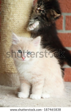 puppies of siberian cat at one month