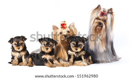 puppies of the Yorkshire Terrier , family Dog - stock photo