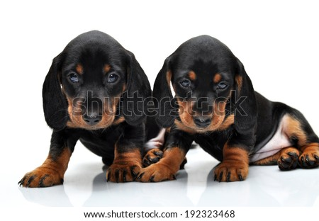 Puppies on a white background. Dachshund