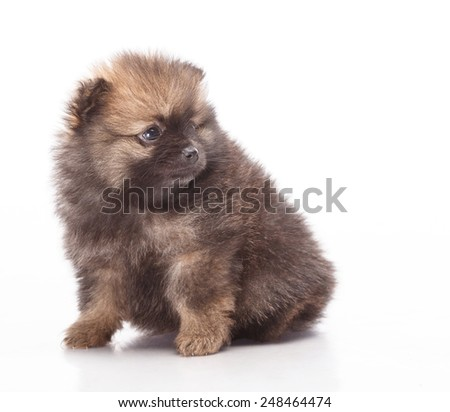 Puppies on white background. Funny little puppy Spitz. spitz puppy on white background, pomeranian puppy the age of 2 month. turn back - stock photo