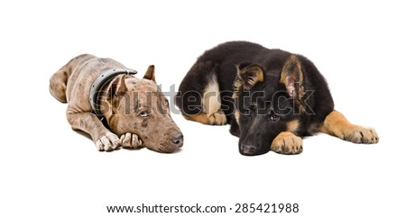 Puppies pit bull and German Shepherd lying together isolated on white background