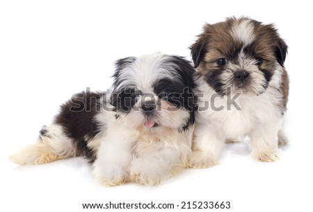 puppies shitzu in front of white background