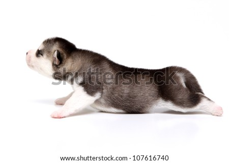 Puppies Siberian Huskies, age of 10 days, isolated on a white background