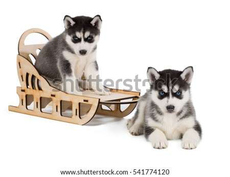 puppies Siberian huskies with sleds