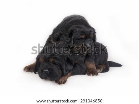 Puppies Tibetan Mastiff - stock photo