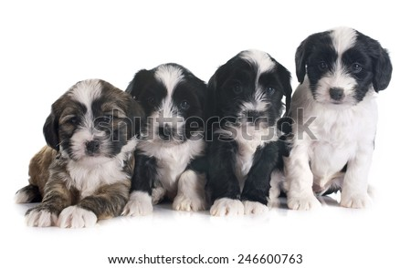 puppies tibetan terrier in front of white background
