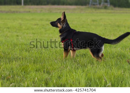 Puppy Alsatian dog in a field on a background of green grass, evening light