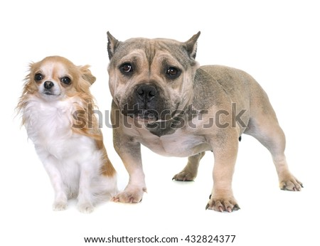 puppy american bully and chihuahua in front of white background