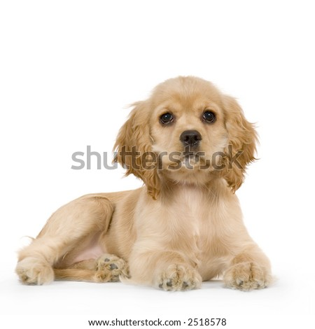 Puppy American Cocker Spaniel Breed in front of a white background - stock photo