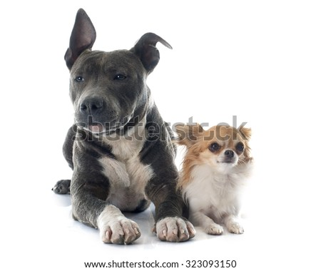 puppy american staffordshire terrier and chihuahua in front of white background