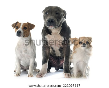 puppy american staffordshire terrier, chihuahua and jack russel terrier in front of white background