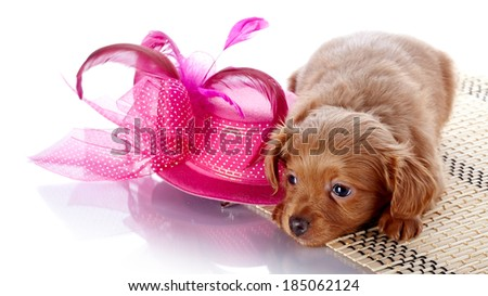 Puppy and a hat with feathers. Puppy in a hat on a rug. Puppy of a decorative doggie. Decorative dog. Puppy of the Petersburg orchid on a white background - stock photo