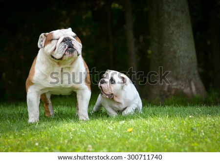 puppy and adult dog playing outside - bulldog puppy 3 months and adult 6 years - stock photo
