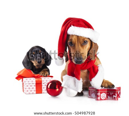 puppy  and dog dachshund  wearing a santa hat