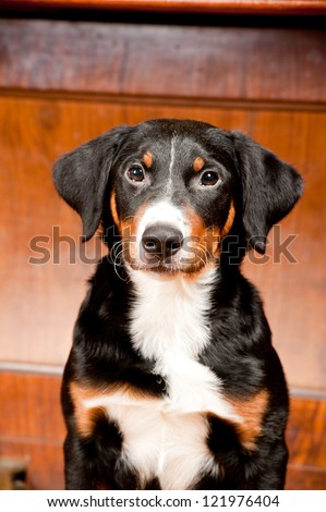 puppy appenzeller sennenhund - stock photo