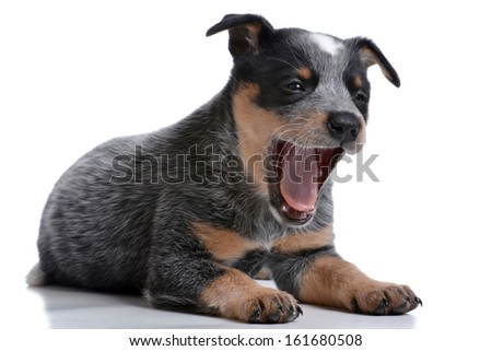 puppy australian cattle dog white background - stock photo