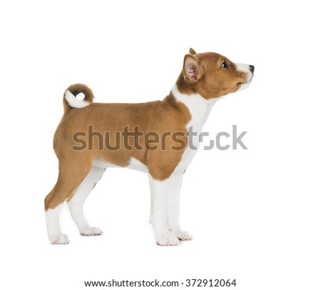 puppy Basenji in a rack on a white background