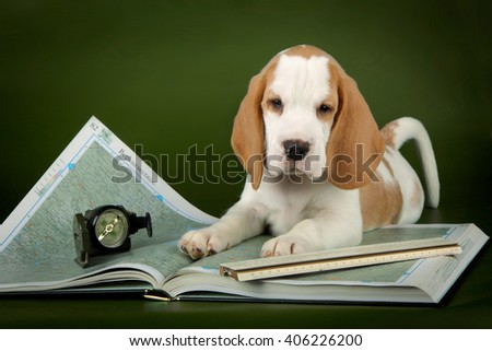 puppy beagle and maps - stock photo