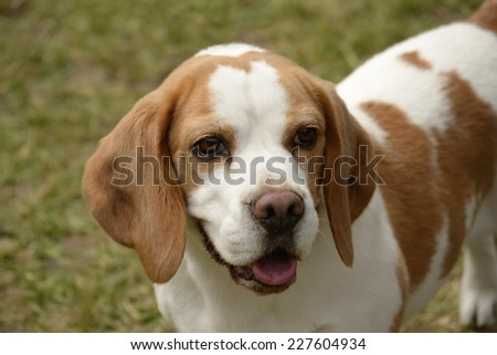 Puppy beagle close-up with its tongue out. White and brown pet in a green garden