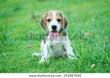 Puppy Beagle enjoy playing in the park. - stock photo
