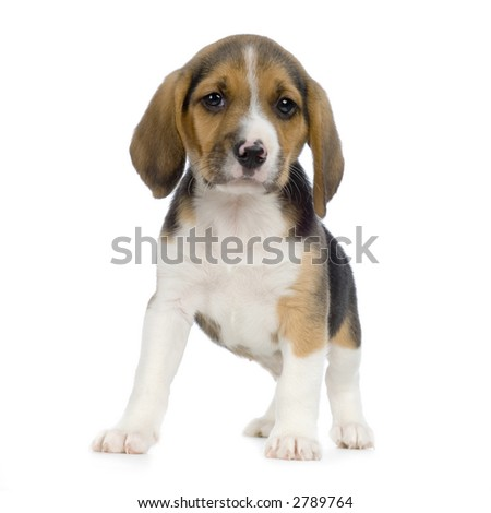 Puppy Beagle in front of white background