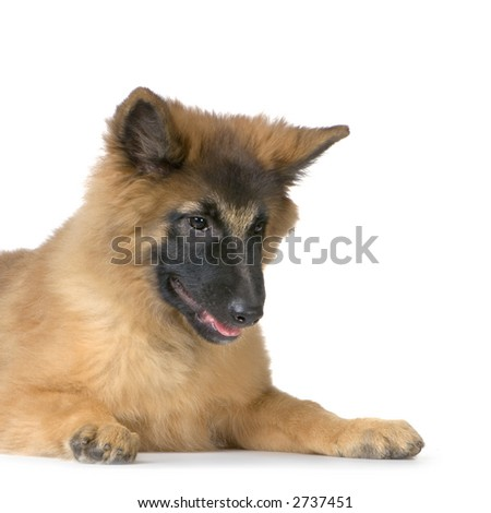 Puppy Belgian Tervuren lying down in front of a white background