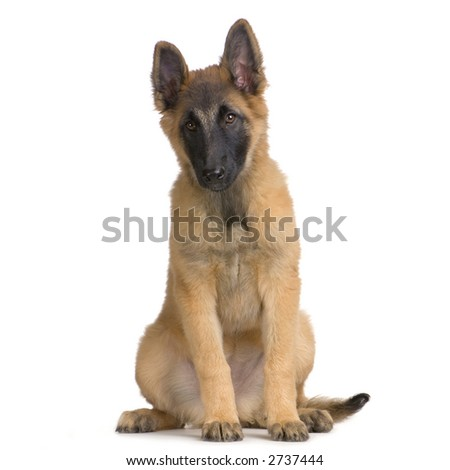 Puppy Belgian Tervuren sitting in front of a white background